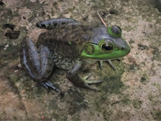 A bronze frog waiting for a meal to fly by.