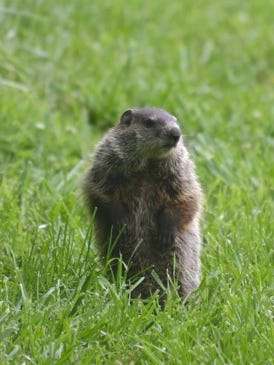 Groundhogs, also called woodchucks, often hang out by roadsides in part because they really like eating grass.