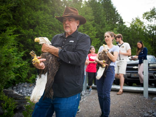 American Eagle Foundation Director Al Cecere, left, prepares to release a bald eagle into the wild on Monday, August 7, 2017.