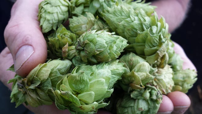 Hops cones are used to add flavor and stability when brewing beer. After they are harvested, hops often are dried and sold as whole leaves or processed into pellets.