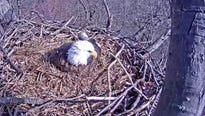 With two fish carcasses and at least one pip, Monday night into Tuesday morning was an exciting time for viewers of the Hanover eagle cam.
