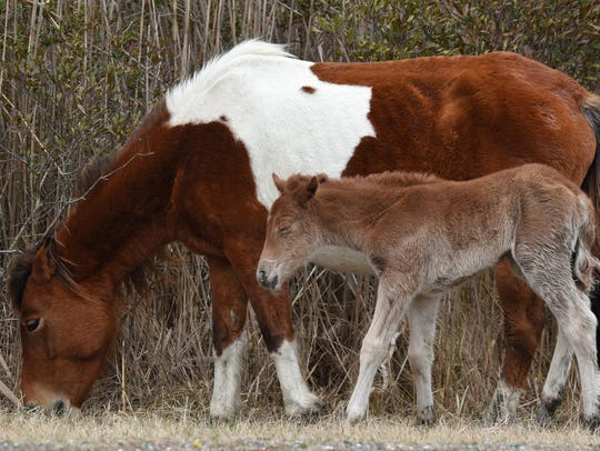 A new foal was born Friday, April 6, on Assateague