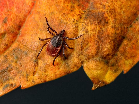 The Cary Institute of Ecosystem Studies has received a $5 million grant toward a study aimed at finding ways to reduce tick populations and Lyme disease rates. (10/12/04). Photo illustration by Spencer Ainsley
