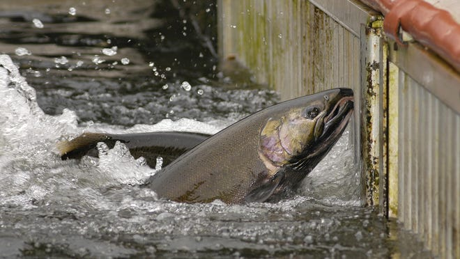 Chinook salmon in the fish trap at the Oregon Department of Fish and Wildlife's Nehalem Hatchery.