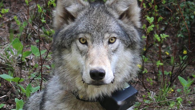 File photo of Oregon wolf.