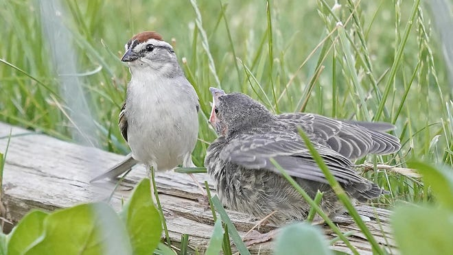 A chipping sparrow sits with one of the cowbird babies it found itself raising after an adult cowbird laid eggs in the sparrow's nest.