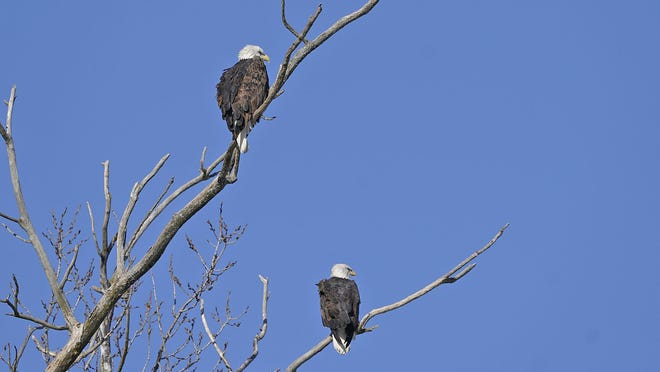 A pair of bald eagles warm themselves in the sunlight Wednesday near downtown Petersburg. The adult bald eagle on the left looks to be the female, as she appears to be slightly larger than the adult male.