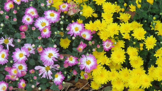 Fall mums can be planted after flowering. Apply a protective mulch layer over the plants, several inches of straw or pine needles to protect them during the winter.