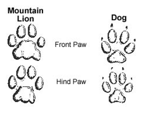 MDC drawing compares mountain lion and dog footprints.