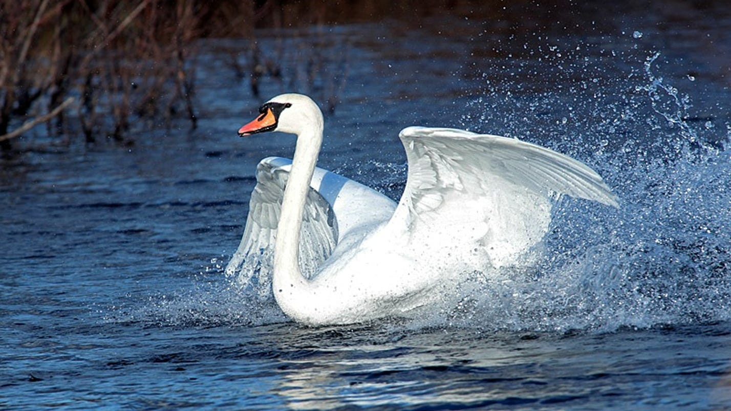 As dec plans swans 39 demise residents swoop to their defense for Piscine 3 05 x 0 76