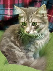 Dillon, a six-month-old silver tabby, is a sweet boy with a little bit of shyness.