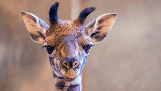 The newest giraffe calf born at the Phoenix Zoo last week.