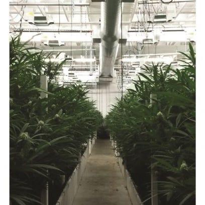Butler evergreen