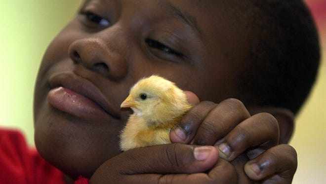 In a program run through the Cornell Cooperative Extension of Westchester, Mount Vernon's Traphagen Elementary School fourth-graders helped hatch chicks.