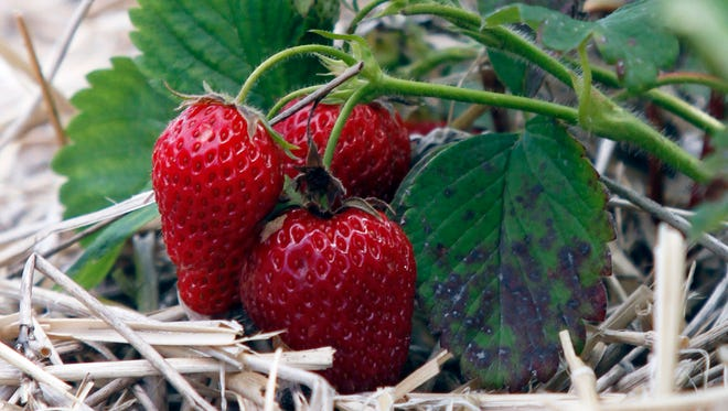 Berry growers around the state say their strawberries are coming in slow, but steady, due to the cold spring weather.