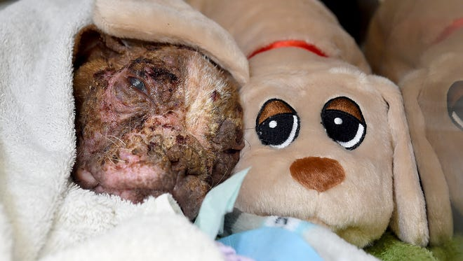 Libre, a 4-month-old Boston Terrier, rests with one of the stuffed animals that have been sent to the Dillsburg Veterinary Center for him. The puppy was found on a Lancaster County farm emaciated, with mange and secondary skin infections causing inflammation, lesions and hair loss throughout his entire body.