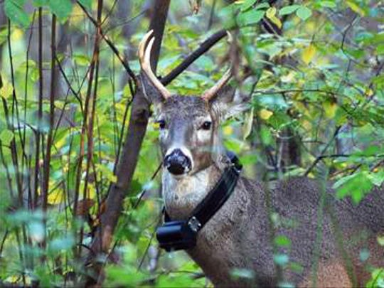 A white-tailed deer wears a radio-collar as part of the Wisconsin deer research project that spanned 2010-'14. Photo contributed by Wisconsin Department of Natural Resources.