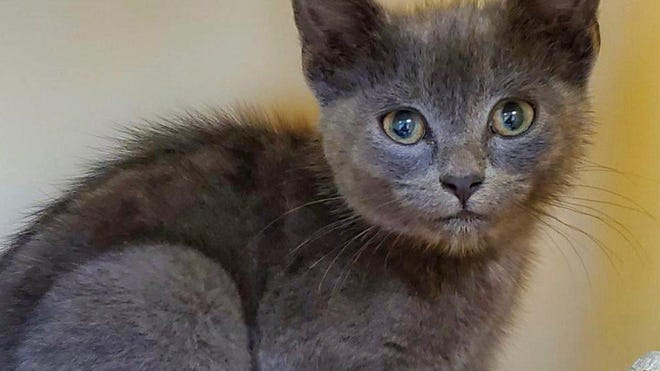 Mochi is available for adoption at the Blue Ridge Humane Society, which is now discounting the regular cat adoption fee.