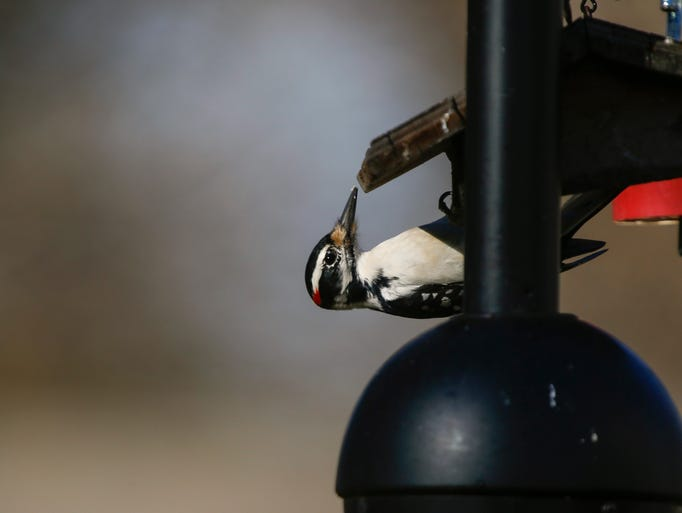 A hairy woodpecker feeds at a bird feeder on Monday,