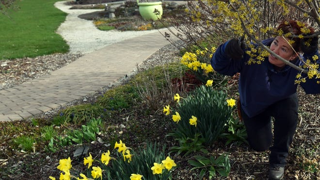 Kaylynn Litersky of the Door County Masters Gardeners prunes a Cornelian Cherry tree she planted eight years ago at the group's garden behind the UW Peninsular Research Station, 4312 State 42, Sturgeon Bay. The Master Gardeners will hold its annual spring plant sale May 28.