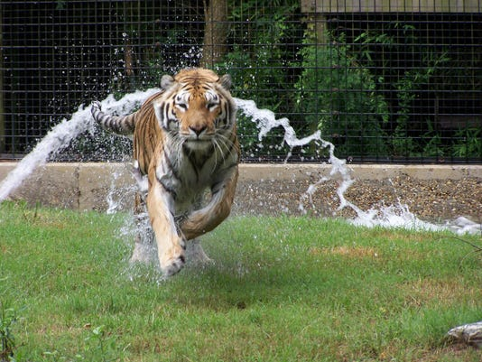 Tigger running - submitted.jpg