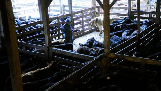 An employee counts and sorts cattle at the Staunton Union Stockyard before the cattle auction on Thursday, April 27, 2014, in Staunton.