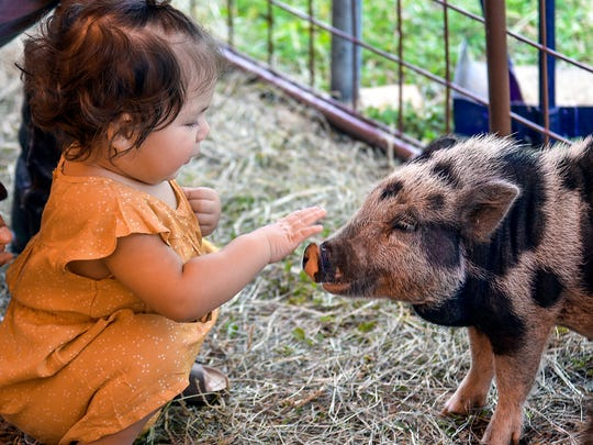 Penelope Munoz, 15-months-old, pets a pot-bellied pig at the petting zoo during the 2017 San Angelo River Fest.