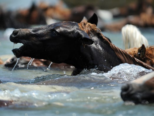 Chincoteague Ponies make the 89th annual swim across Assateague Channel to Chincoteague, Va. on Wednesday, July 30, 2014. A portion of the wild pony herd will be auctioned on Thursday to benefit the Chincoteague Volunteer Fire Company, which owns and maintains the herd.