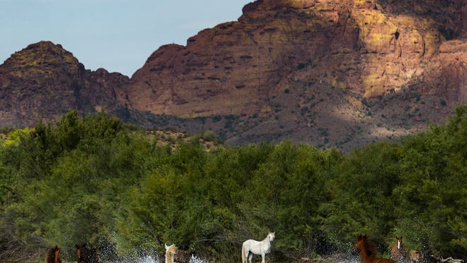 Is someone shooting at the wild horses at the Salt River?