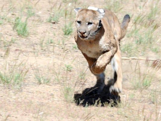 lion 02