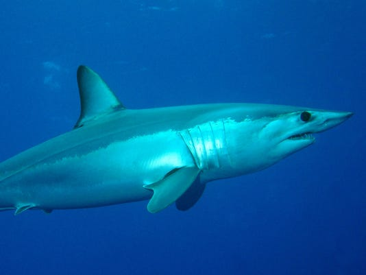 Atlantic mako shark