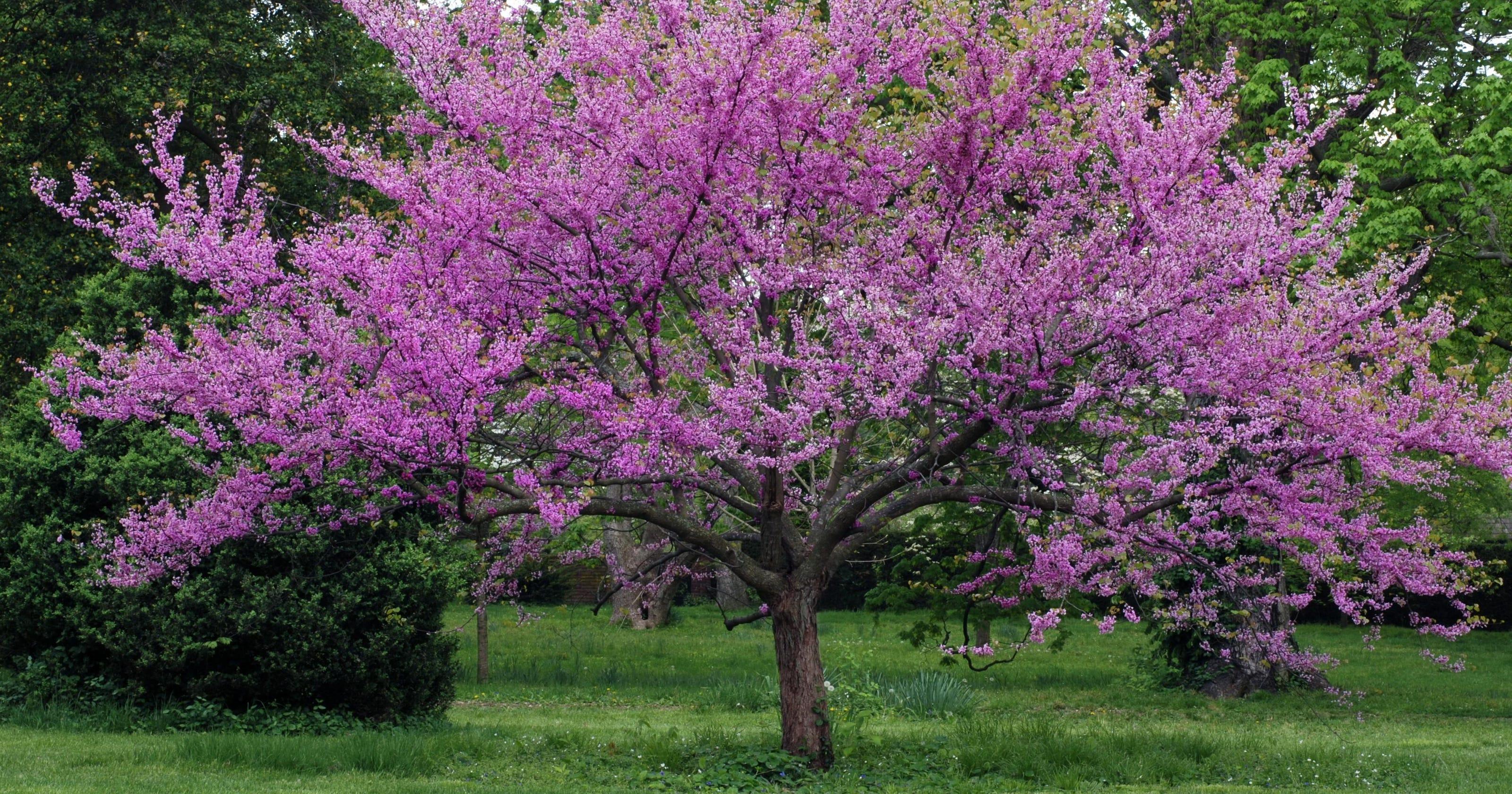 Meet The Redbud Tree