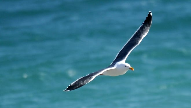 A seagull flies along the San Nicolas Island coastline in this 2012 photo.