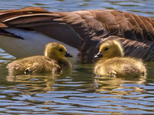 635651236583965993-Canada-Goose-goslings-photo-by-Ed-Oakes
