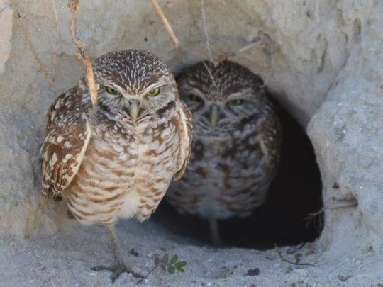 Burrowing owls peek our from their burrow.