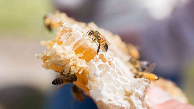 Honeycomb with honey bees on it. This month will mark the completion of a new honey bee headquarters on the UF campus.