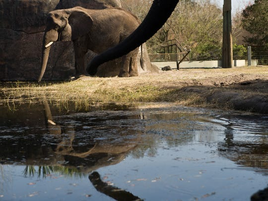 Thandi (left) drinks from a pond at the Jacksonville