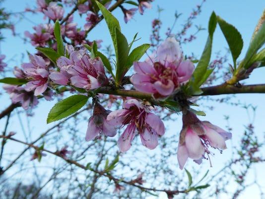Peach-tree-2.JPG