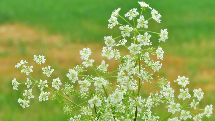 Deadly poison hemlock 'spreading rampantly' in central Pa.