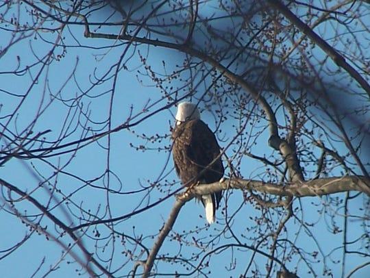 A bald eagle spotted on Oak Street in Binghamton in