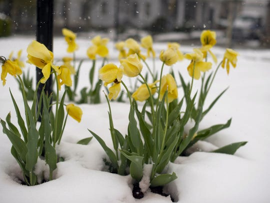 A stand of tulips sits blanketed in snow in Somerset, Pennsylvania, after of 8 inches of snow hit southwestern Pennsylvania on April, 23, 2012. In 2019, the eastern U.S. should see a warmer-than-average spring.