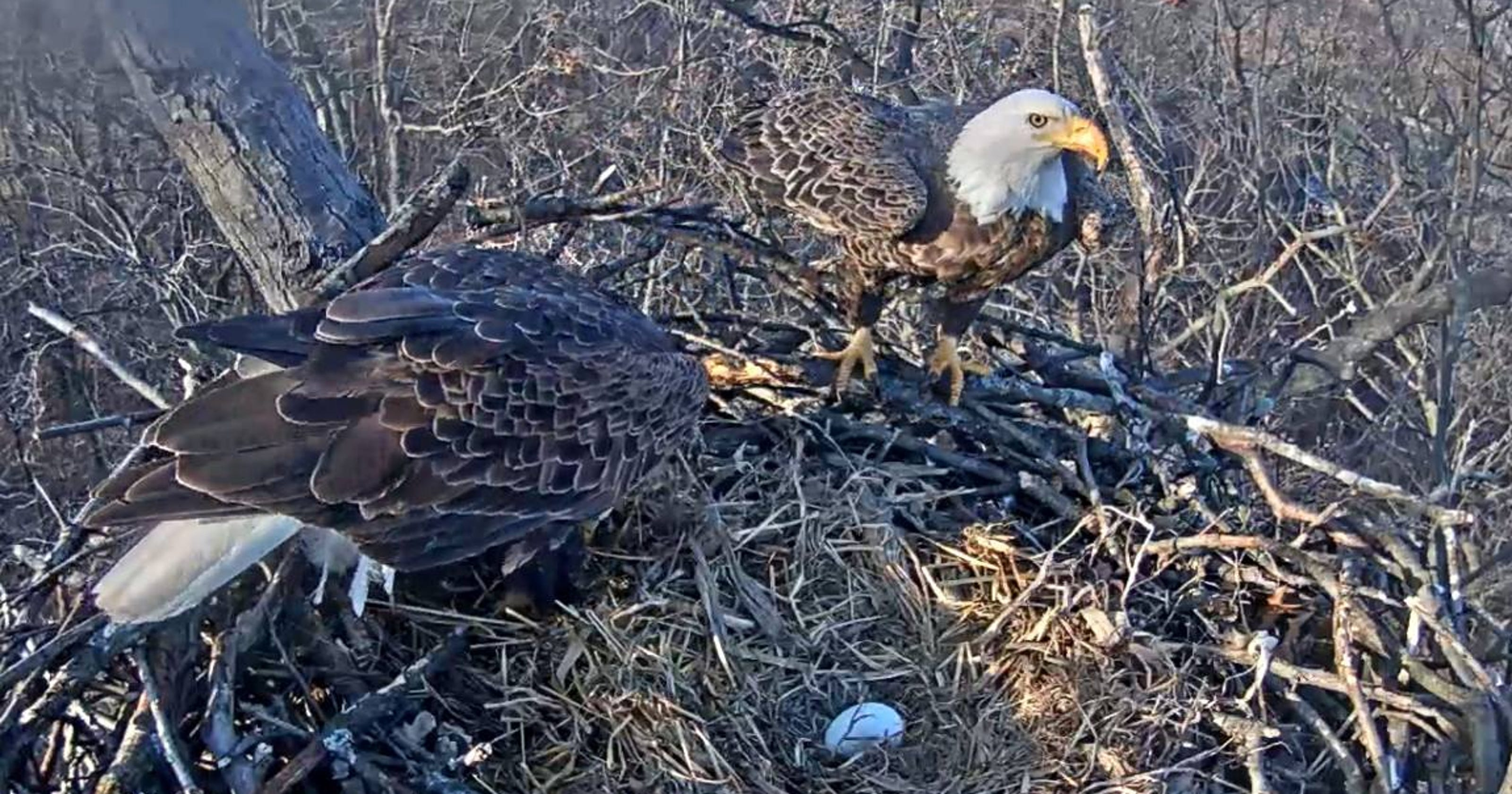 Pa  Game Commission drops Hanover eagle cam, others prepare