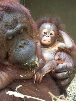 Orangutans Bella with her mother, Kumang, at the Seneca Park Zoo.