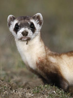 A male black-footed ferret.