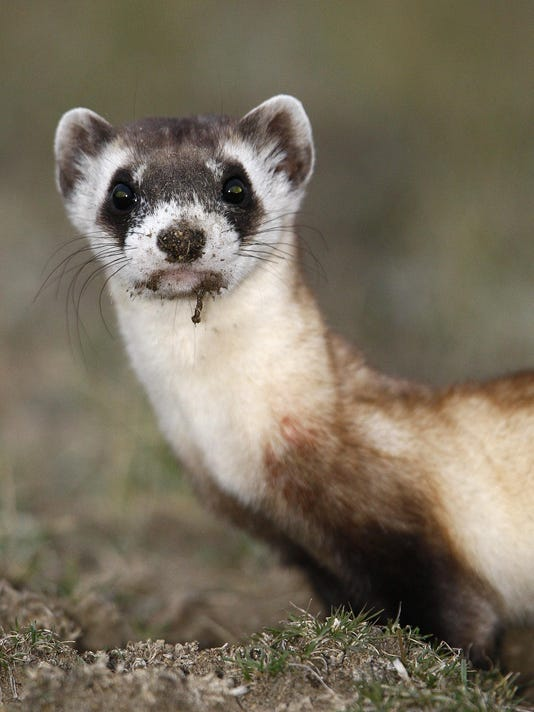 Secondary ferret