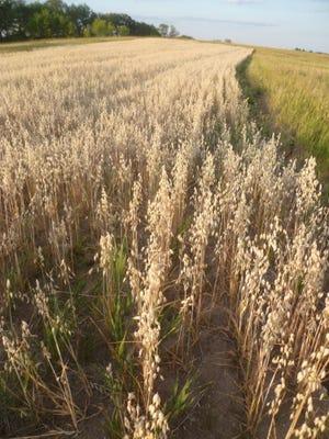 A field of certified-organic oats growing at Snug Haven Farm in Belleville.