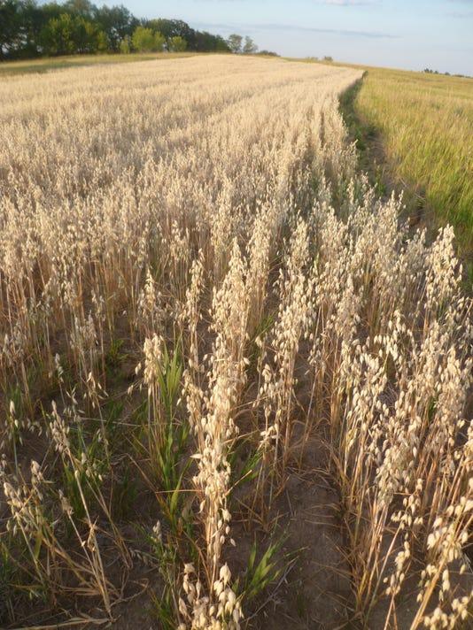 oats21-field