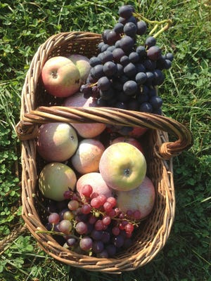 This undated photo shows harvested grapes and apples in New Paltz, N.Y. Grapes, picked dead ripe, and apples, picked mature to finish ripening indoors, are part of autumn's luscious bounty. (Lee Reich via AP)