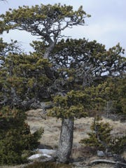 The Nature Conservancy manages for limber pine atop Pine Butte.