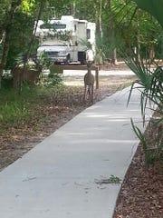 Florida deer roam freely through Manatee Springs State